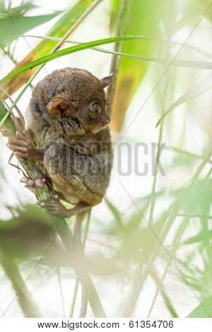 The Filipino Tarsier is the smallest primate living on earth, here it's standing on a bamboo tree in Philippines.