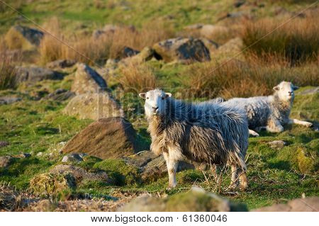 Sheep stood in a field