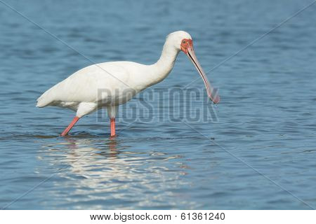 African Spoonbill Almost Smiling
