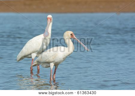 Two African Spoonbills Standing In Water