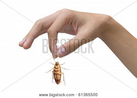 Hand Holding Brown Cockroach Isolated Over White Background