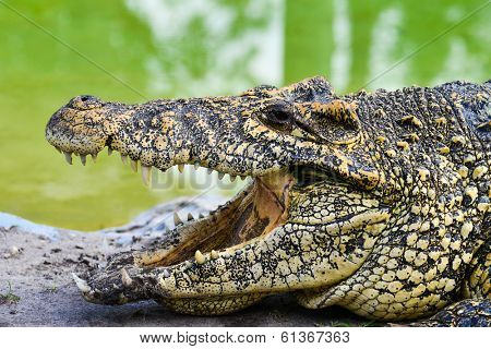 Nile alligator