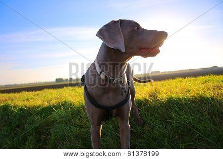 Weimaraner in a field