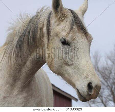 Arabian Horse face portrait