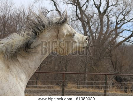 Arabian Horse angry expression