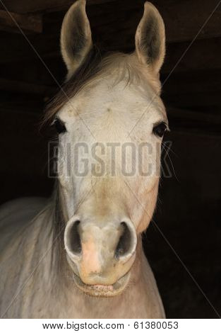 Arabian Horse with black background