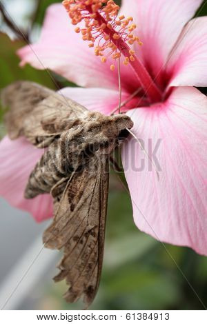 Moth on Hibiscus Flower