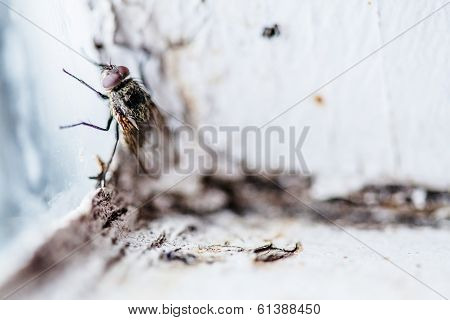 Nasty Housefly In A Window