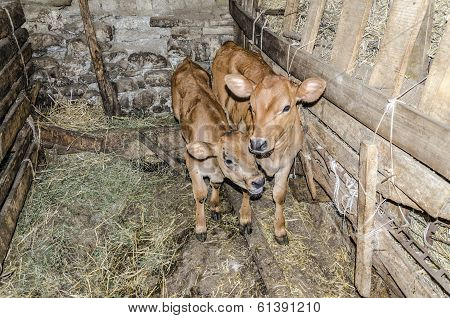Two Small And Cute Calves
