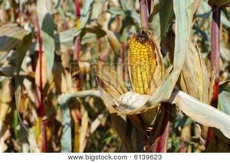Cattle Corn 2