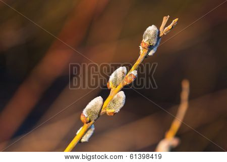 Spring branch with catkins close up