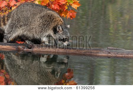 Raccoon (Procyon lotor) Crawls Along Log