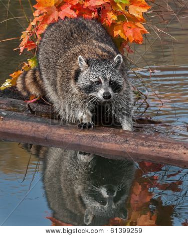 Raccoon (Procyon lotor) Stands Uncertainly On Log