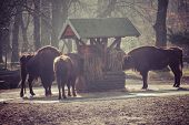 picture of aurochs  - Herd of bisons in national park - JPG