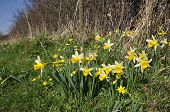foto of celandine  - Wild Daffodils - Narcissus pseudonarcissus Growing in a field edge with Lesser Celandine - Ranunculus ficaria - JPG