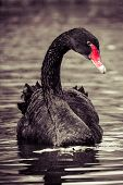 image of black swan  - Swimming two black swans in Berlin park - JPG