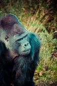 stock photo of face-fungus  - Face portrait of a gorilla male in Berlin zoo - JPG