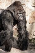 picture of face-fungus  - Face portrait of a gorilla male in Berlin zoo
