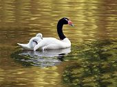 pic of black swan  - A Black Necked Mother Swan with chick - JPG