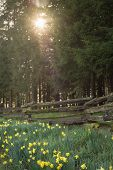 stock photo of split rail fence  - Morning sun peeks through a grove of fir trees over daffodils by a rustic fence.