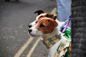 A pair of Jack Russell terriers wearing colourful scarves watch the annual Jack In The Green festiva
