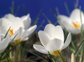 White crocuses shot on blue background