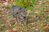 Bobcat Kitten (Lynx rufus) Stalks Through Grasses