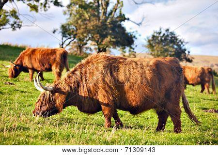 Highland Angus Cow