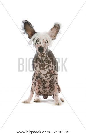 chinese crested temple dog