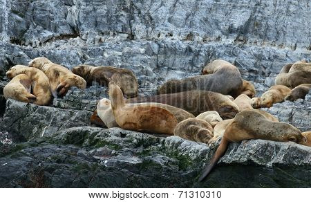 Patagonian sea lion colony, Beagle Channel