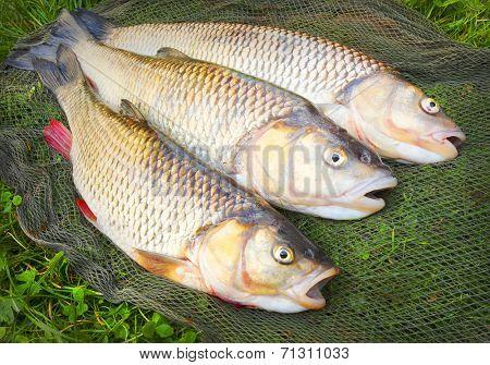 Catch of fishes. European Chub (Squalius cephalus).