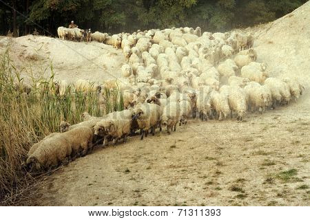 Vintage photo of flock of sheep