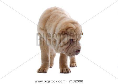 funny shar pei puppy