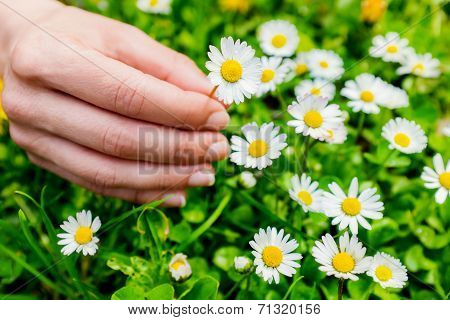 Macro Close Up Of Hand Picking Flowers.
