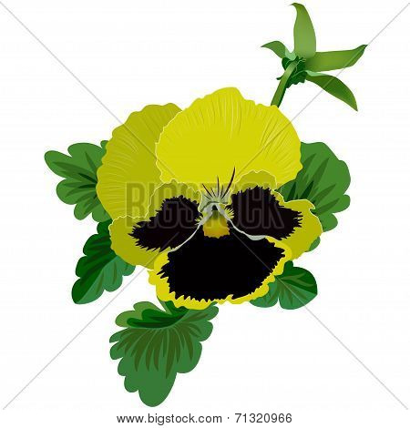 Yellow pansy flower with leaves and bud