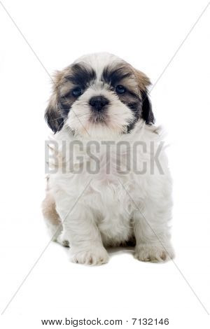 puppy shi tzu