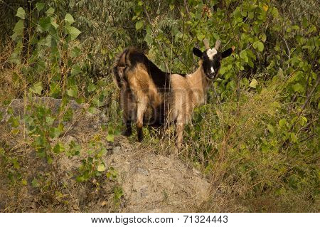 Wild brown goat