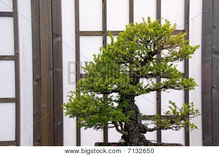 Japanese / oriental Bonsai tree