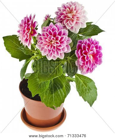 Colored Dahlia Flowers Plant in a pot Isolated on White Background