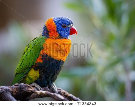 Bright Rainbow Lorikeet parrot