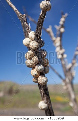 Snail shells on a withered stalk