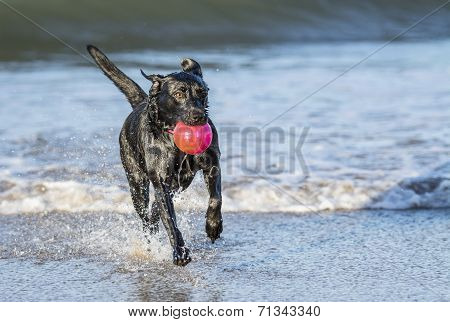 Dog Running In Sea Carrying Ball