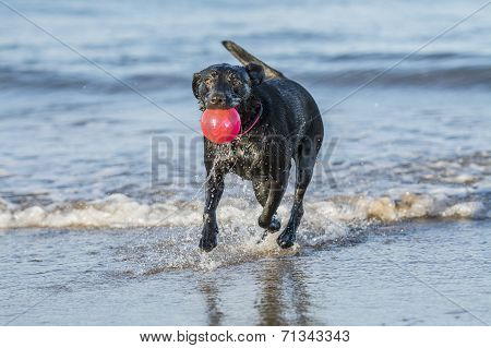 Dog Running In Sea Carrying Ball, With Copy Space