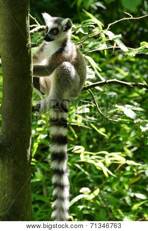 Catta With A Long Tail Sitting In A Tree