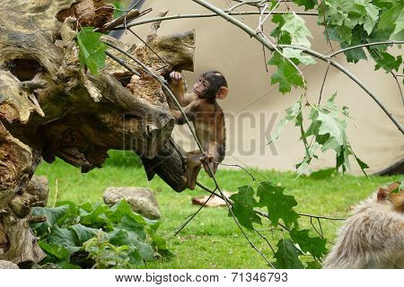 Macaque Baby Ape