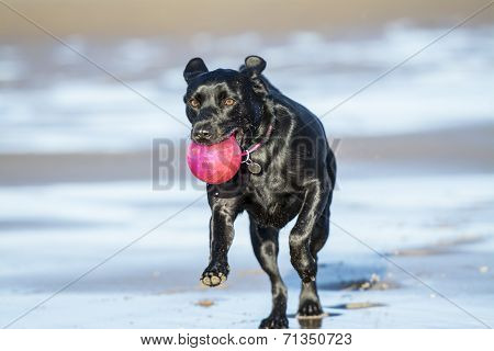 Black Labrador Playing With Ball On Beach