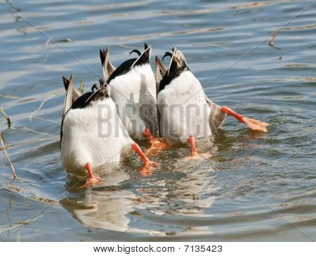 Three Ducks Dive