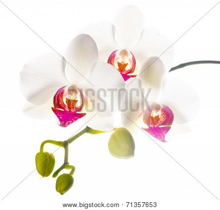 Branch  White With Red  Orchid Is Isolated On A White Background
