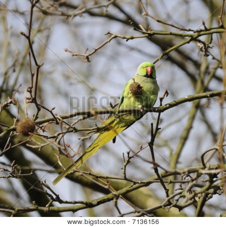 Wild Rose Ringed Parakeet
