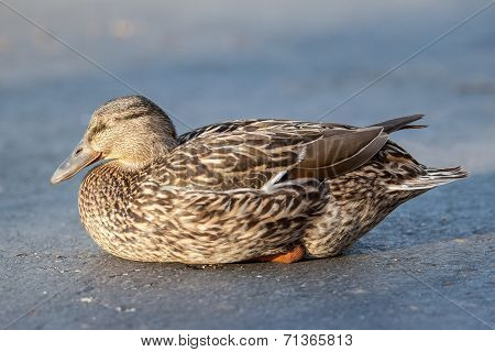 Napping Mallard Duck